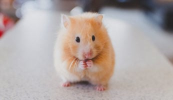 Hamster covered by pet liability insurance for renters